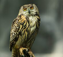 Fudge, European Eagle Owl (Bubo bubo) by mattcattell
