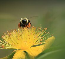 hovering for honey by Deborah McLain