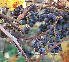 Bent Harbor grapes by Joshua Fronczak