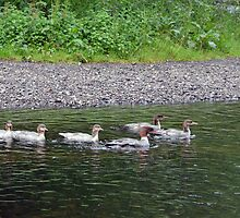Goosander Family - River Rothay, Rydal Water by Chris Monks
