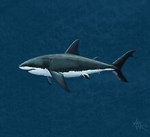 Carcharodon carcharias by Amber Marine
