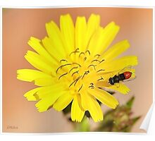Red Fly Bee on a Dandelion Flower Poster
