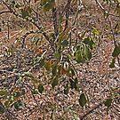 Quinine Tree and Fruit, Petalostigma, Kimberley, Western Australia by Margaret  Hyde
