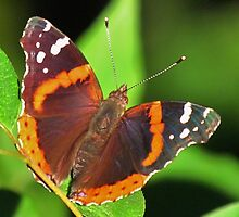 The Red Admiral by lorilee