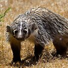 young badger by Robbie Knight