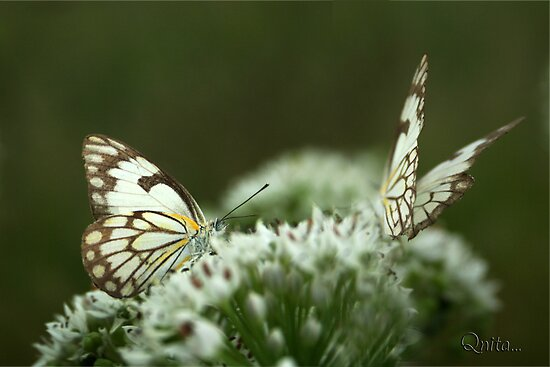 Two Posing... &quot;Brown-veined White butterfly&quot; (Belenois aurota) Free State, South Africa by Qnita