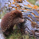 Cuddle the Echidna by Donovan wilson