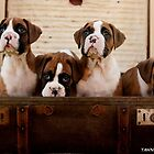 Boxer Puppies in a Suit Case by Tawnydal