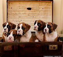 Boxer Puppies by Tawnydal