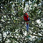 rosella by evvy84