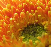 Orange Gerbera by tobeandtohave