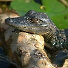 baby gator by Margaret  Shark