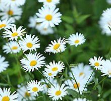 Wild daisies by mrivserg