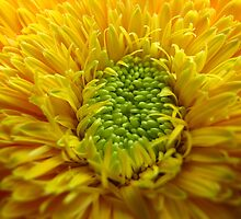 Yellow Gerbera by tobeandtohave