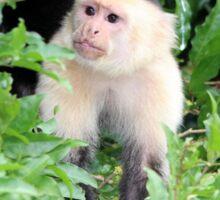 White-faced Monkey Sticker