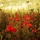 All Aglow Poppies by Donna-R