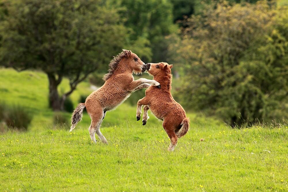 Shetland Ponies  by Grant Glendinning