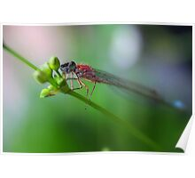 Blue-tailed Damselfly Poster
