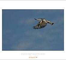 Pied Kingfisher by AnYpHoTo
