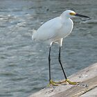 White egret by JessieT
