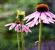Pink Coneflowers  Glenville North Carolina  by KSKphotography
