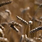 Wheat by Anne Gilbert