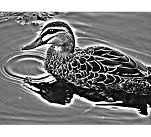 Duck in High Dynamic Photographic Print