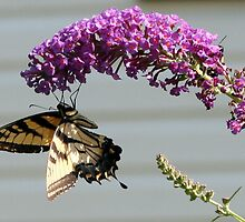 Tiger Swallowtail on Butterfly Bush #2 by Paula Tohline  Calhoun