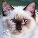 Molly, Ragdoll kitten, 6 months old. by ronsphotos