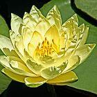 Yellow Lily by Kelly Rockett-Safford