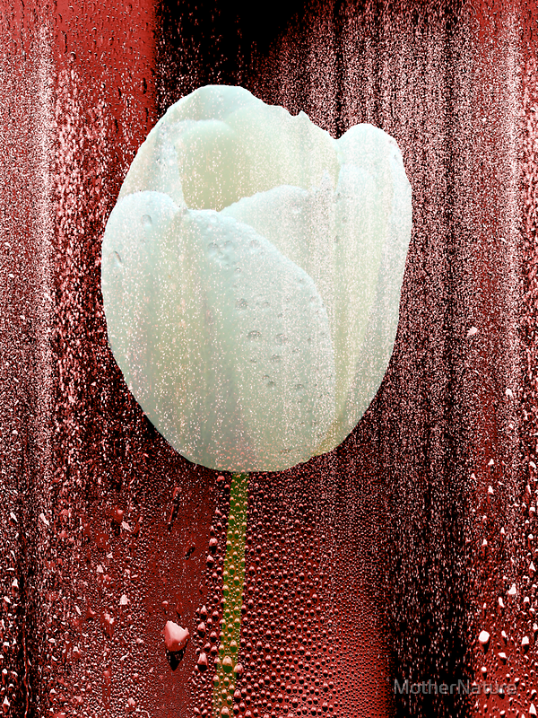 White Tulip on Red by MotherNature