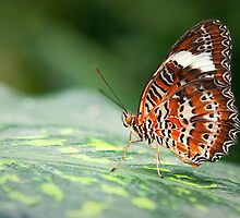 Orange Lacewing by Scott Carr