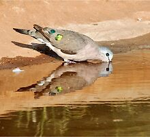 EMERALD-SPOTTED WOOD DOVE – _*Turtur chalcospilos*_ Groenvlerkduif by Magaret Meintjes