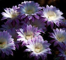 A Touch of Lavender  by Saija  Lehtonen
