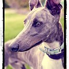 Whippet by kirst68