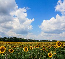 Sunflower Fields Forever by laruecherie