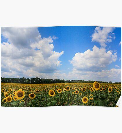 Sunflower Fields Forever Poster