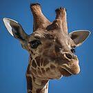 Baby Giraffe by Trevor Middleton