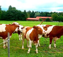 Bavarian Cows by ©The Creative  Minds