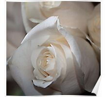 Serenity of a White Rose Poster