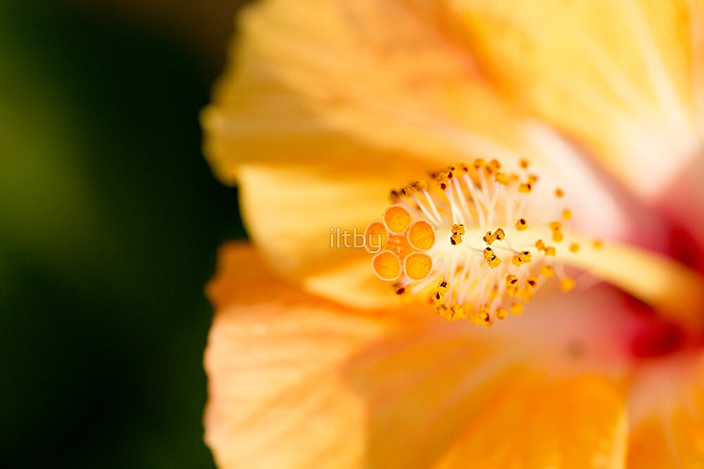 Soft Yellow Stamen by Josie Eldred