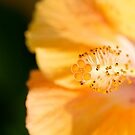 Soft Yellow Stamen by Josie Eldred