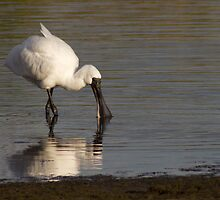 Juvenile Spoonbill by Robyn Carter