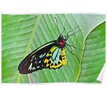 Male Cairns-Birdwing Butterfly Poster