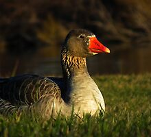 Greylag Goose : 20120709 MR71 by tmac