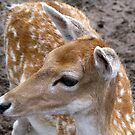 Fawn by Marilyn Harris
