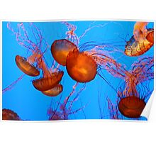 Pacific Sea Nettle Jellyfish Poster