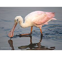 Immature Spoonbill Feeding Photographic Print