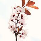 Cherry blossom by Cristina Rossi