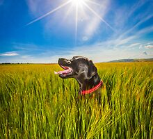 Labrador in the Fields by Heather Buckley